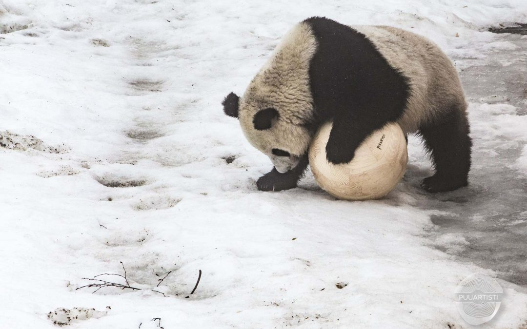 """Lumi and Pyry, the adorable giant pandas at Ähtäri Zoo in Finland, got handmade """"bear-proof"""" wooden toy balls"""