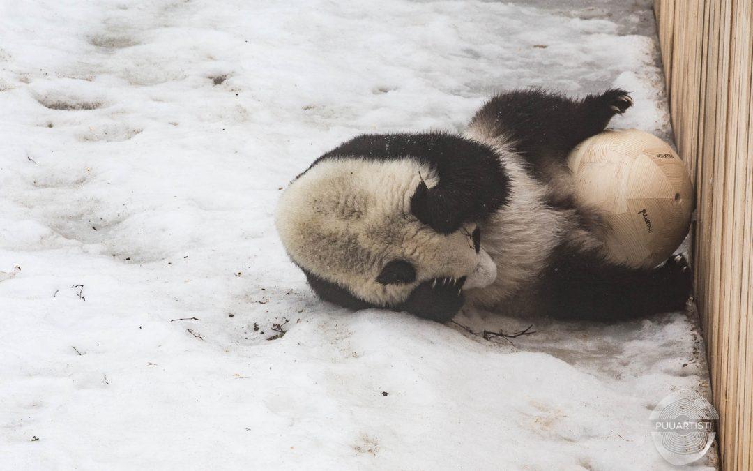 Lahjoitamme Ähtärin eläinpuiston pandoille Lumille ja Pyrylle puiset, karhunkestävät leikkipallot