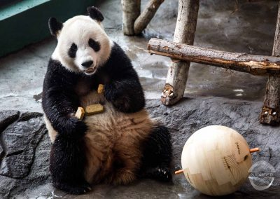 Panda Balls